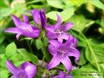 лісові карпатські квіти рекламний тур по Карпатах Клуб Мандрівників