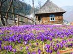Долина Крокусов ЗАКАРПАТСКИЕ ВЫТРЕБЕНЬКИ экскурсионный тур1 мая Майские праздники в Карпатах Клуб Мандривныкив