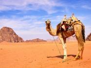 Верблюд ІЗРАЇЛЬ Тури на Близький Схід Авіа тури в Ізраїль Клуб Мандрівників