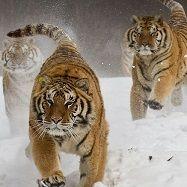 Тигри ІТАЛІЯ Тури в Європу Автобусні тури в Італію Клуб Мандрівників